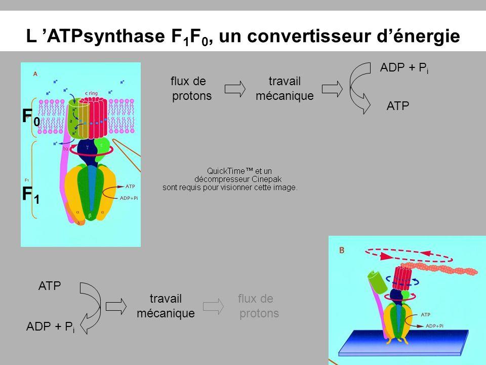 L 'ATPsynthase F1F0, un convertisseur d'énergie