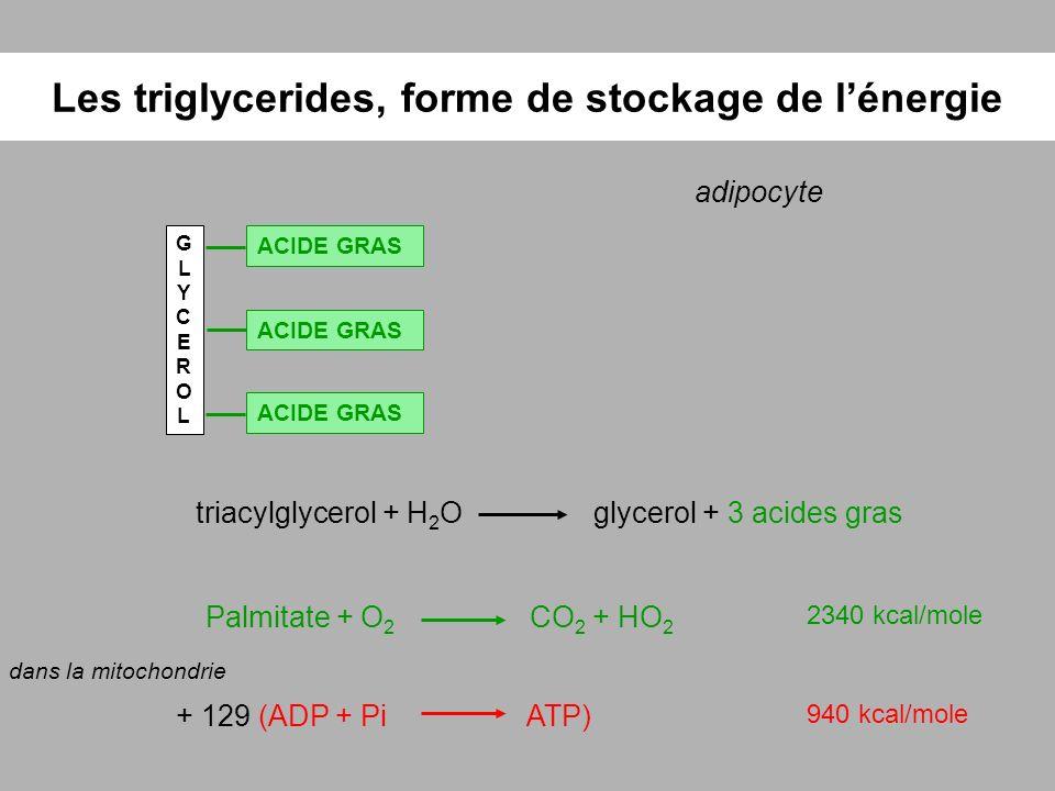 Les triglycerides, forme de stockage de l'énergie