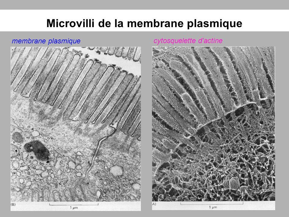 Microvilli de la membrane plasmique