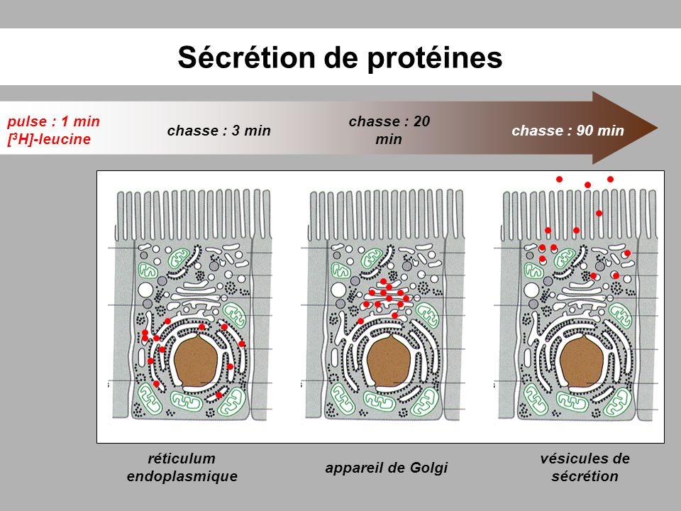 Sécrétion de protéines