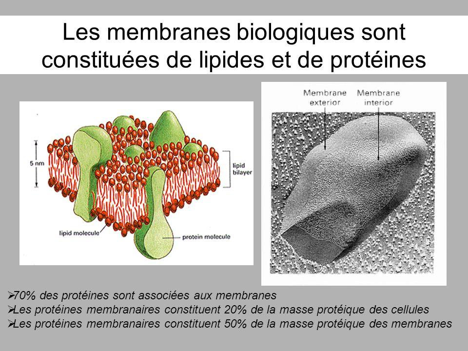 Les membranes biologiques sont constituées de lipides et de protéines