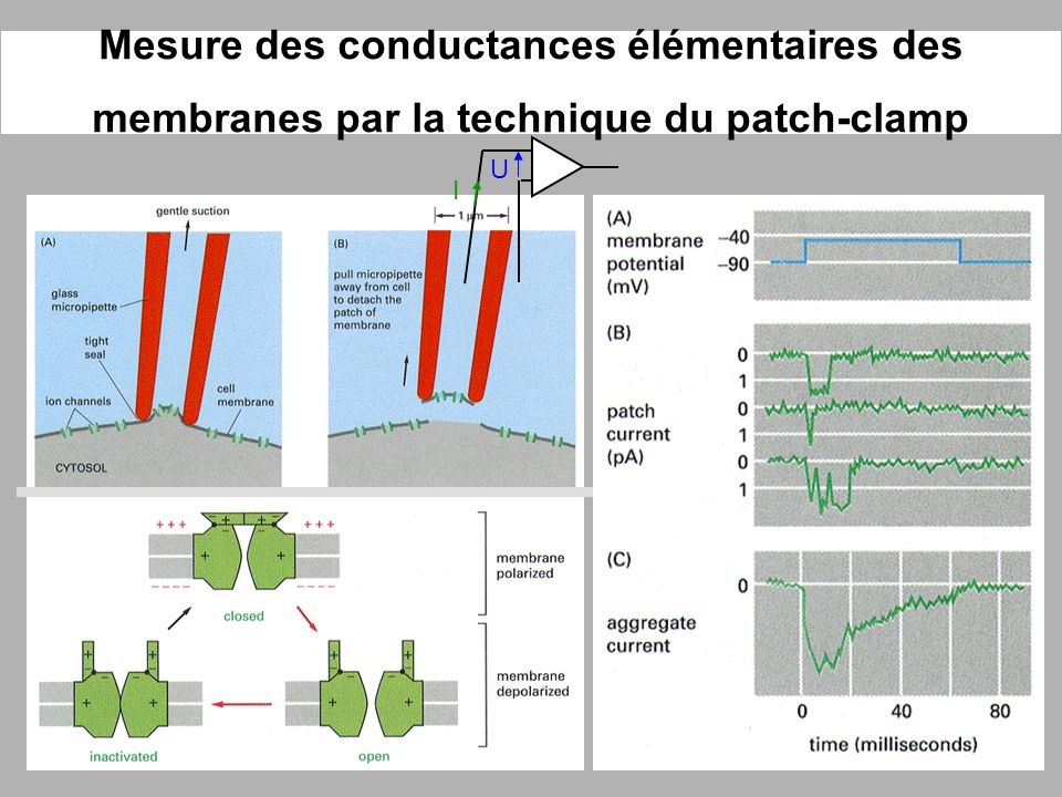 Mesure des conductances élémentaires des membranes par la technique du patch-clamp