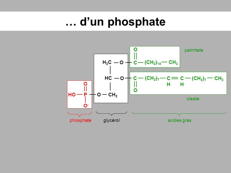 … d'un phosphate O H2C O C (CH2)14 CH3 HC O C (CH2)7 CH CH (CH2)7 CH3