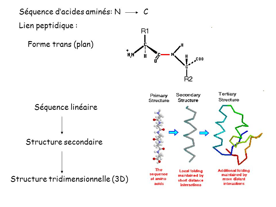 Séquence d'acides aminés: N C