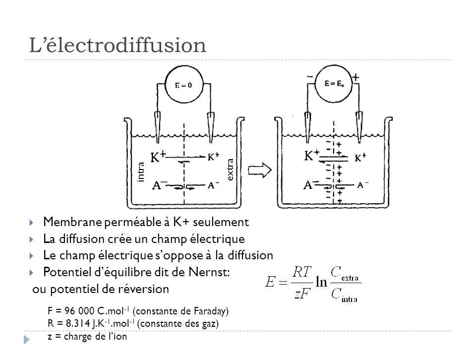 L'électrodiffusion Membrane perméable à K+ seulement