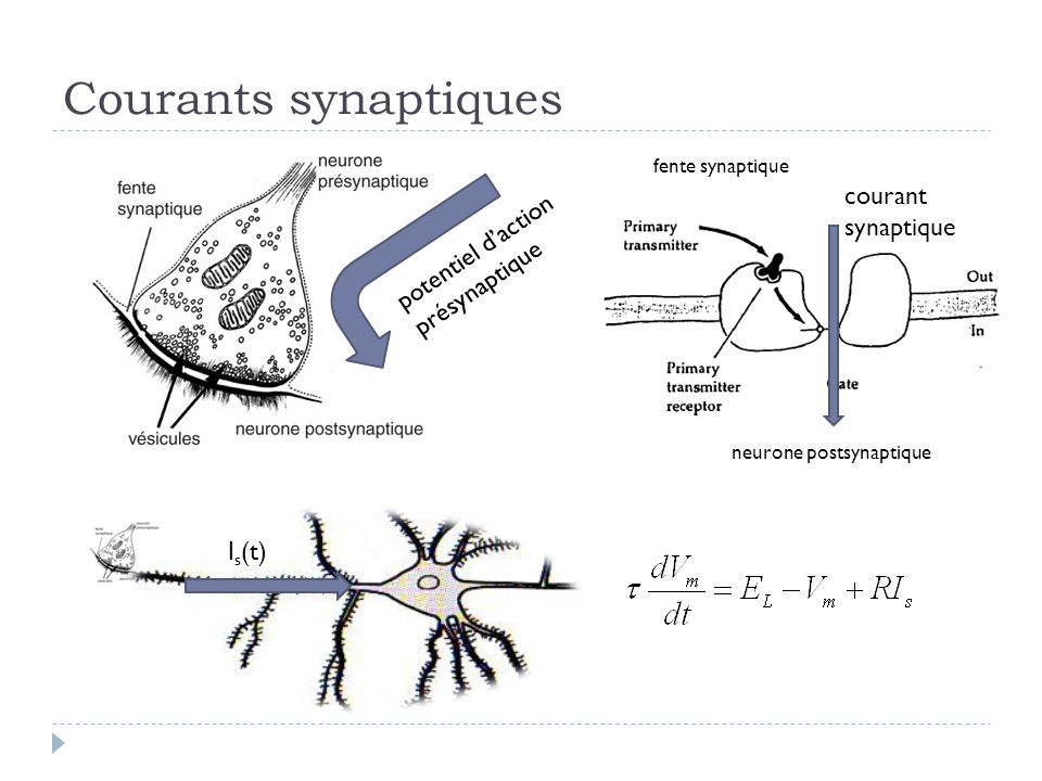 Courants synaptiques courant synaptique