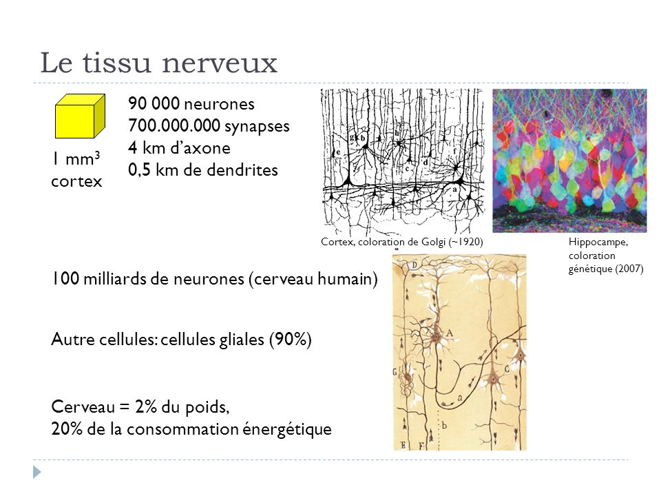 Le tissu nerveux 90 000 neurones 700.000.000 synapses 4 km d'axone