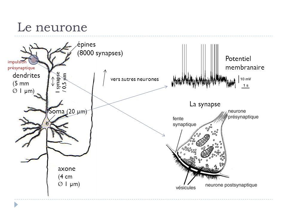 Le neurone épines (8000 synapses) Potentiel membranaire dendrites