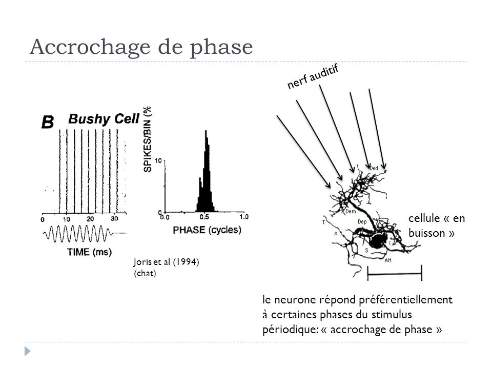 Accrochage de phase nerf auditif cellule « en buisson »