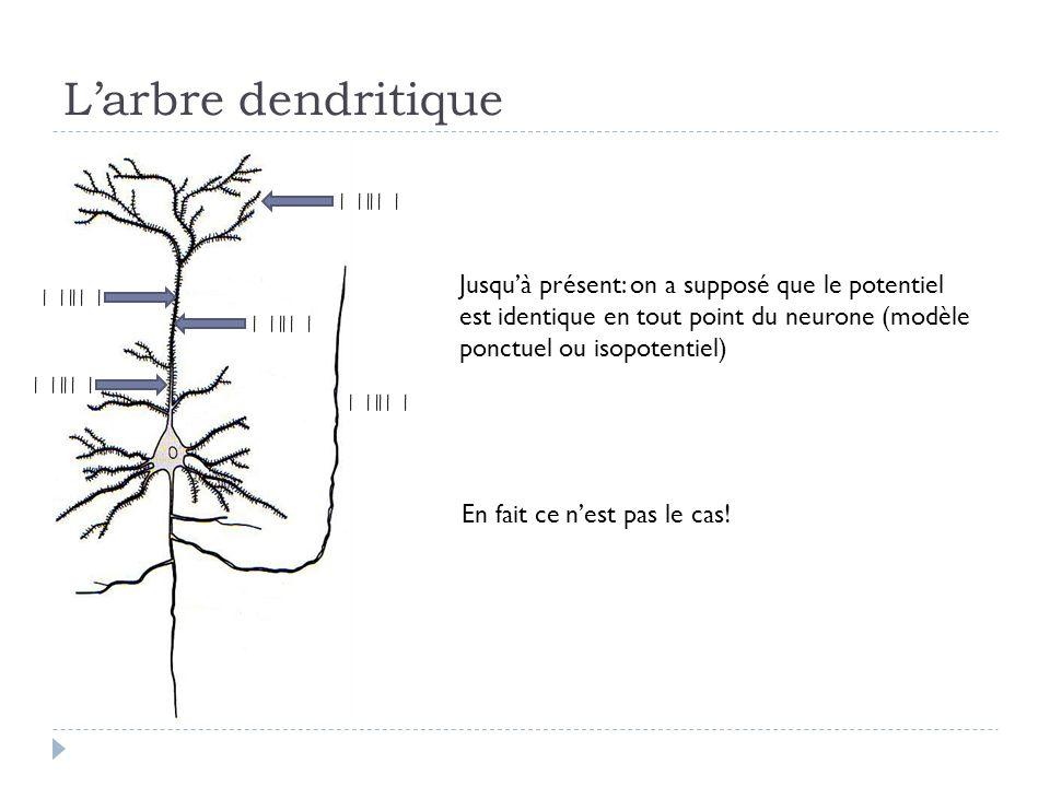 L'arbre dendritique Jusqu'à présent: on a supposé que le potentiel est identique en tout point du neurone (modèle ponctuel ou isopotentiel)