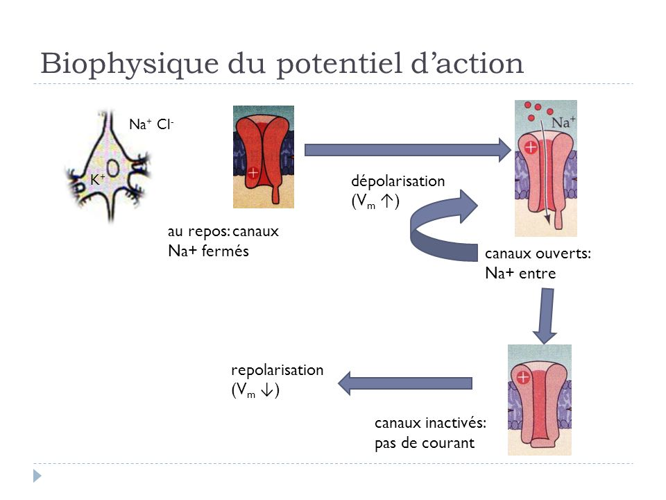 Biophysique du potentiel d'action