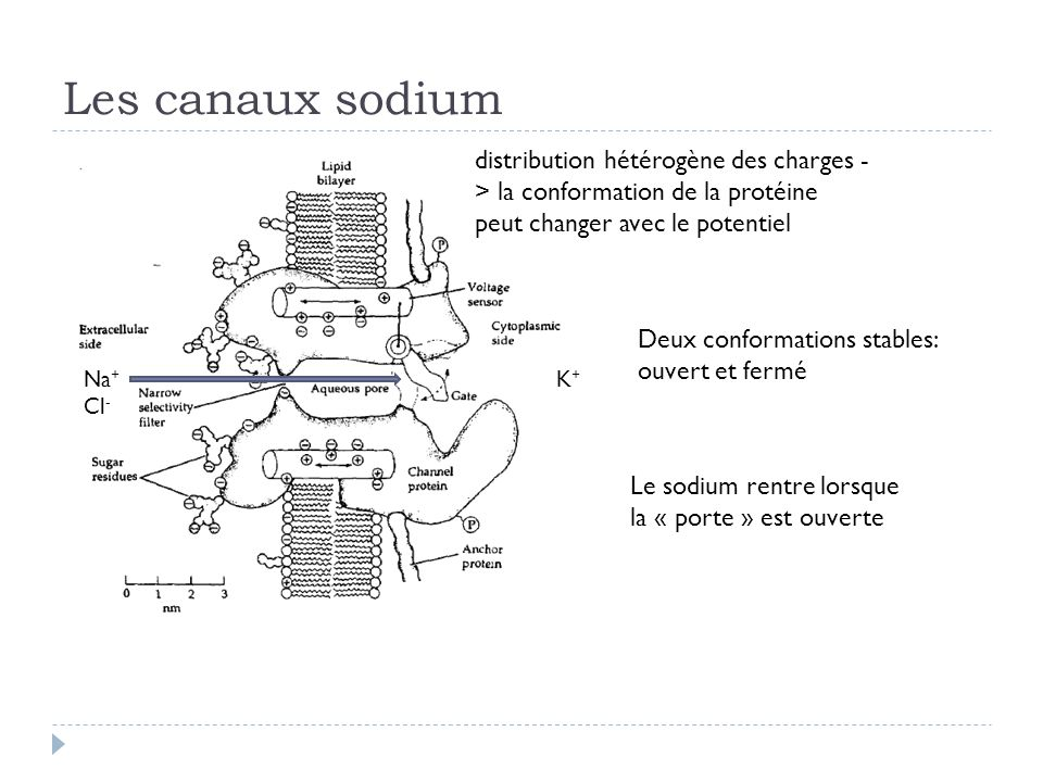 Les canaux sodium distribution hétérogène des charges -> la conformation de la protéine peut changer avec le potentiel.