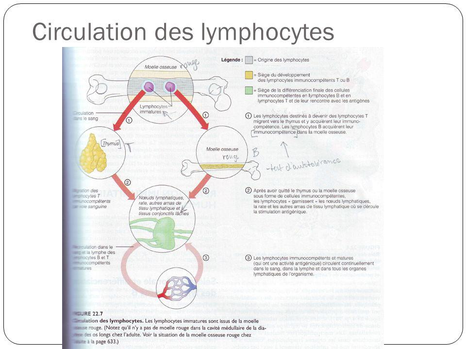 Circulation des lymphocytes