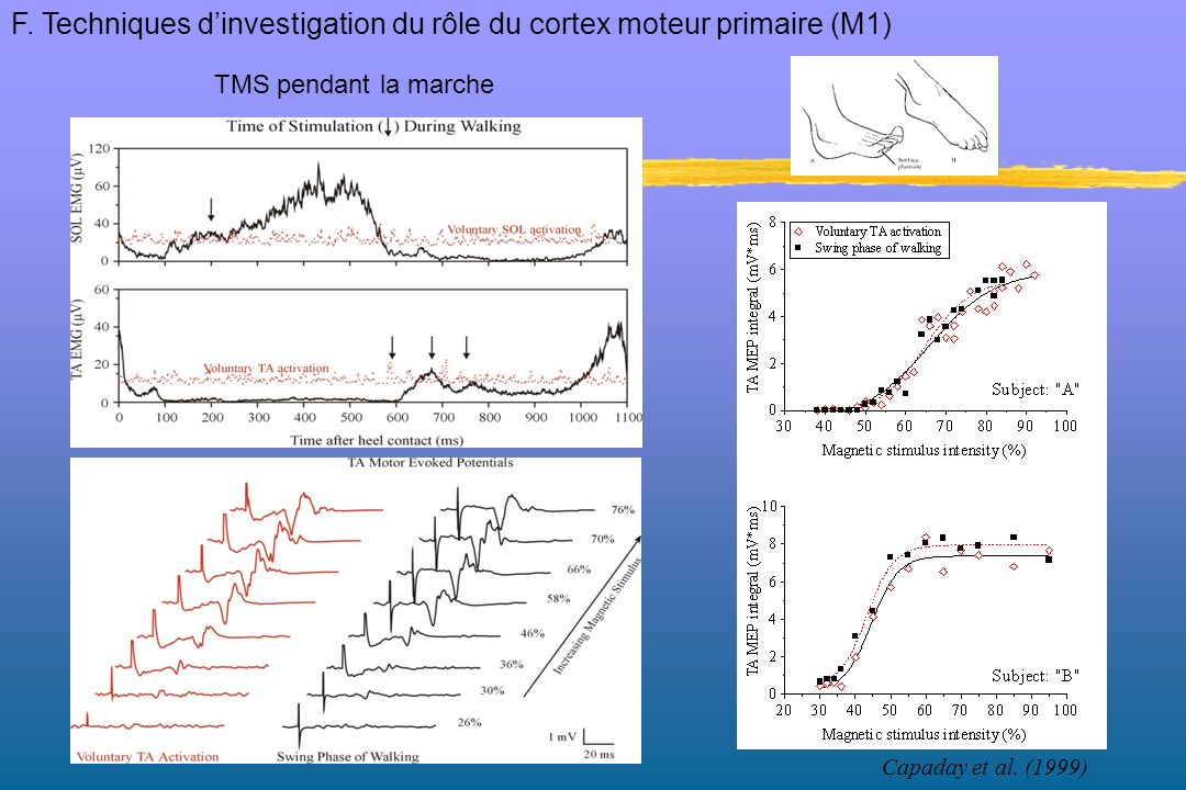 F. Techniques d'investigation du rôle du cortex moteur primaire (M1)