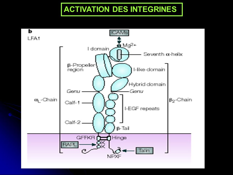 ACTIVATION DES INTEGRINES
