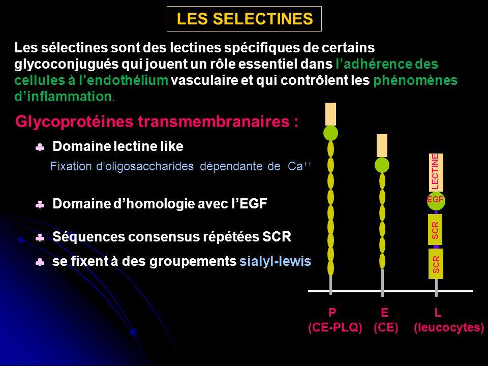 Glycoprotéines transmembranaires :