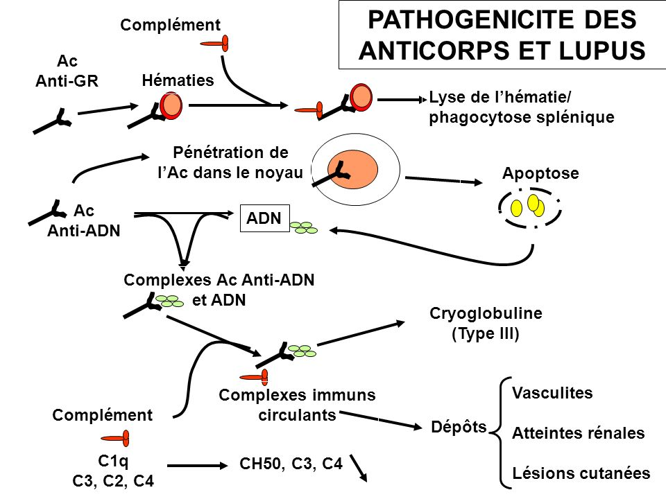 PATHOGENICITE DES ANTICORPS ET LUPUS