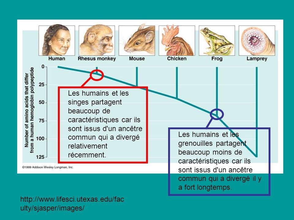 Les humains et les singes partagent beaucoup de caractéristiques car ils sont issus d un ancêtre commun qui a divergé relativement récemment.