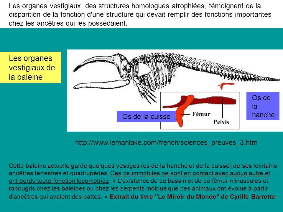 Les organes vestigiaux de la baleine