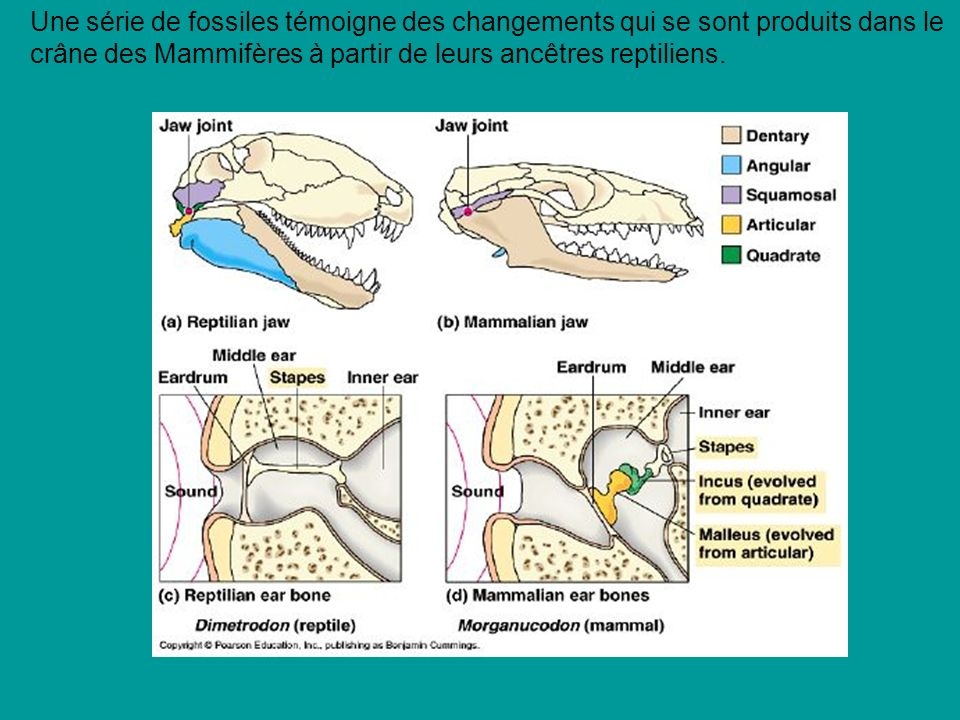 Une série de fossiles témoigne des changements qui se sont produits dans le crâne des Mammifères à partir de leurs ancêtres reptiliens.