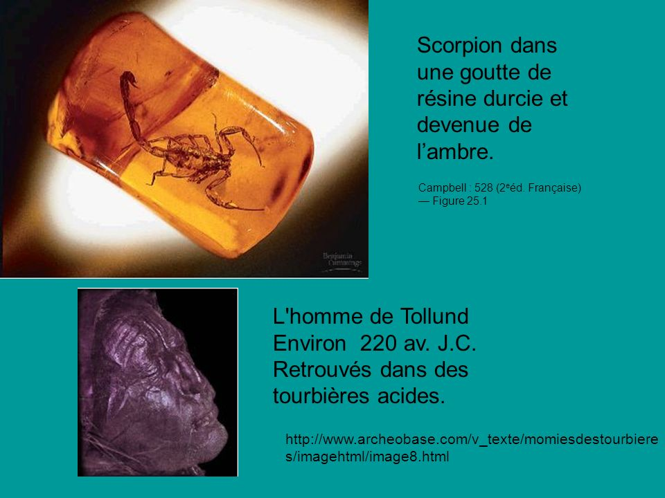 Scorpion dans une goutte de résine durcie et devenue de l'ambre.