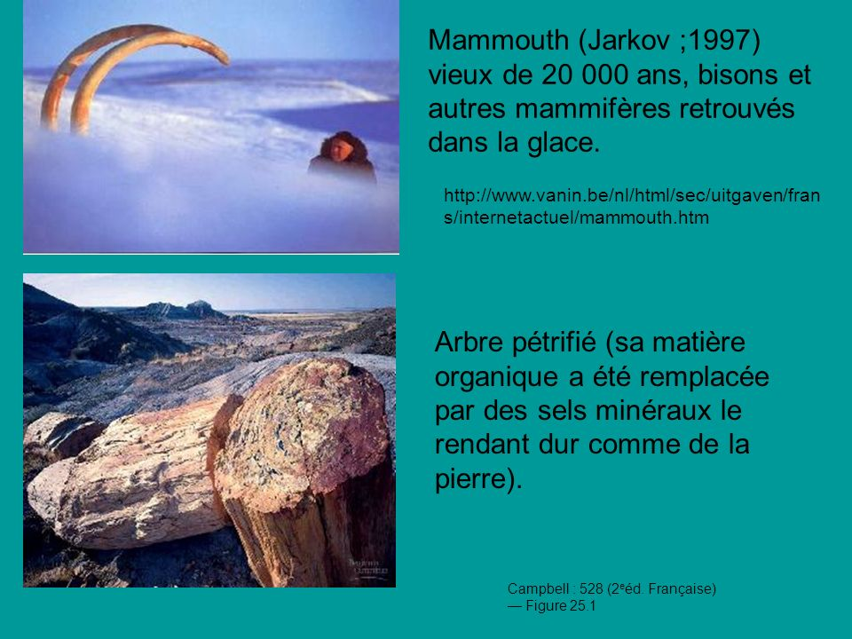 Mammouth (Jarkov ;1997) vieux de 20 000 ans, bisons et autres mammifères retrouvés dans la glace.