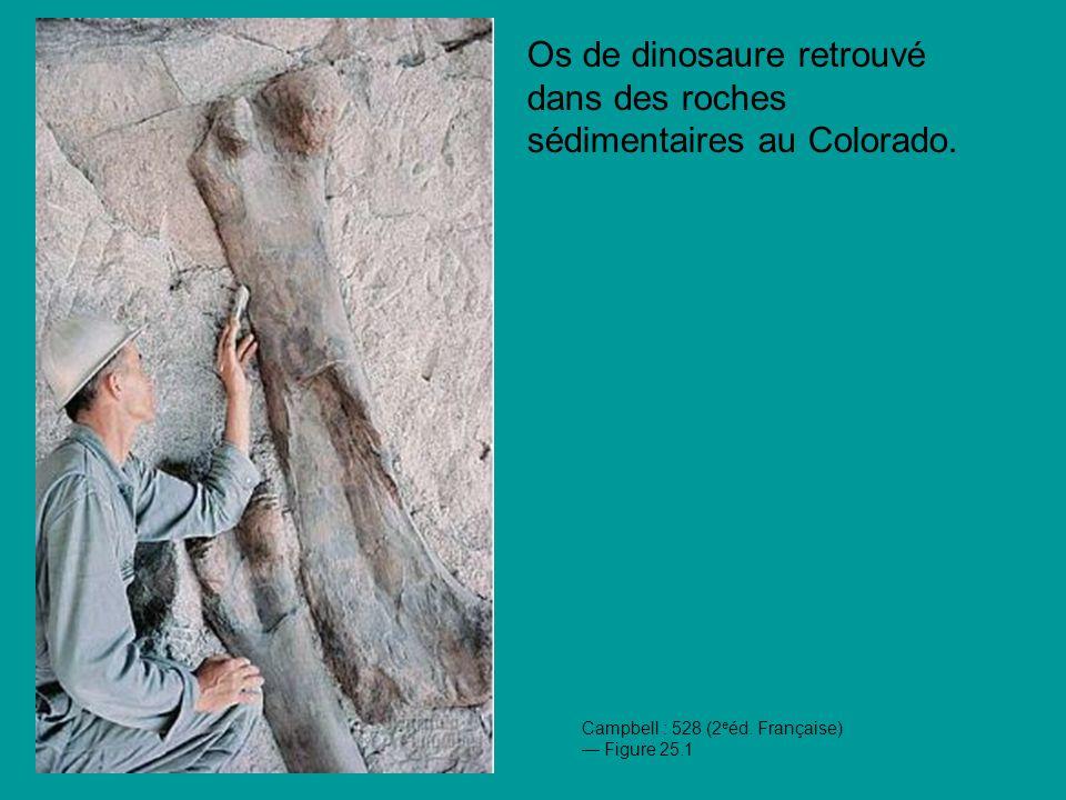 Os de dinosaure retrouvé dans des roches sédimentaires au Colorado.