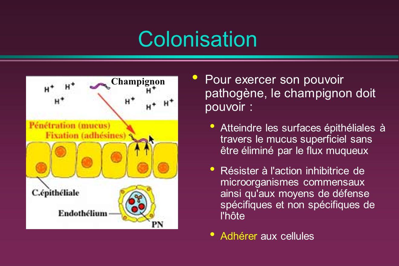 Colonisation Pour exercer son pouvoir pathogène, le champignon doit pouvoir :