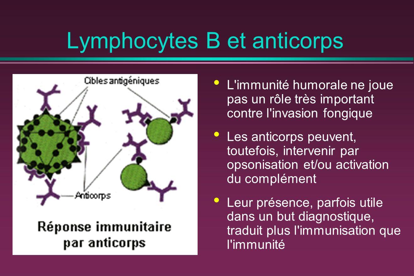 Lymphocytes B et anticorps