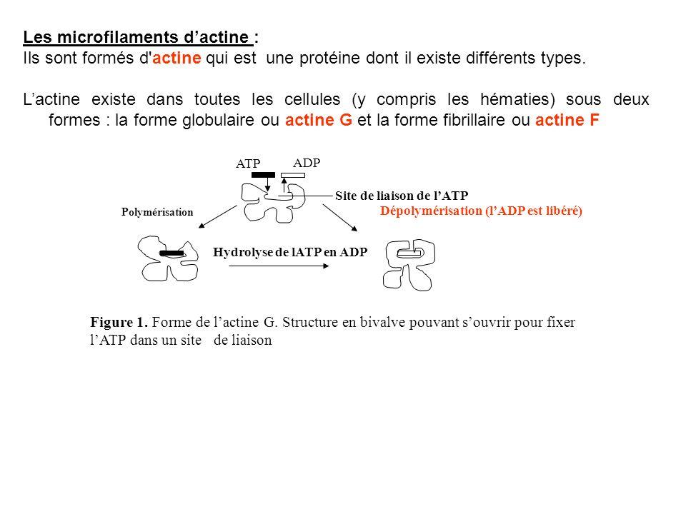 Les microfilaments d'actine :
