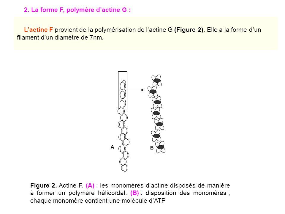 2. La forme F, polymère d'actine G :