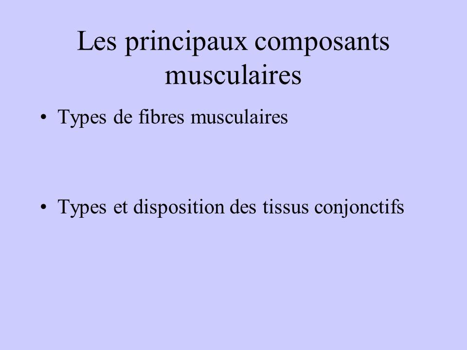 Les principaux composants musculaires