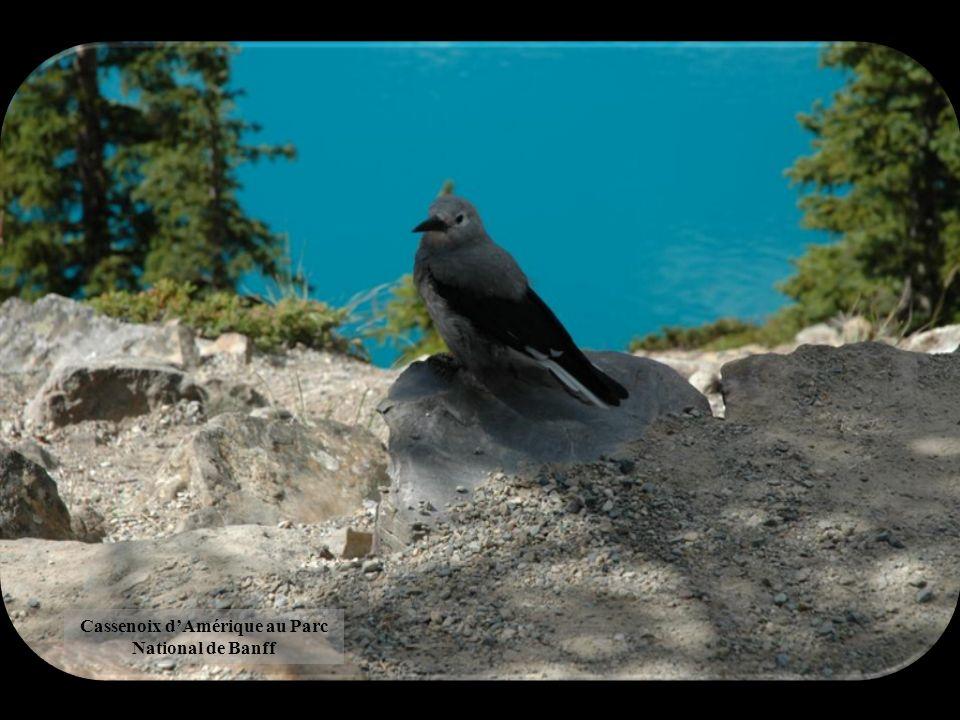 Cassenoix d'Amérique au Parc National de Banff