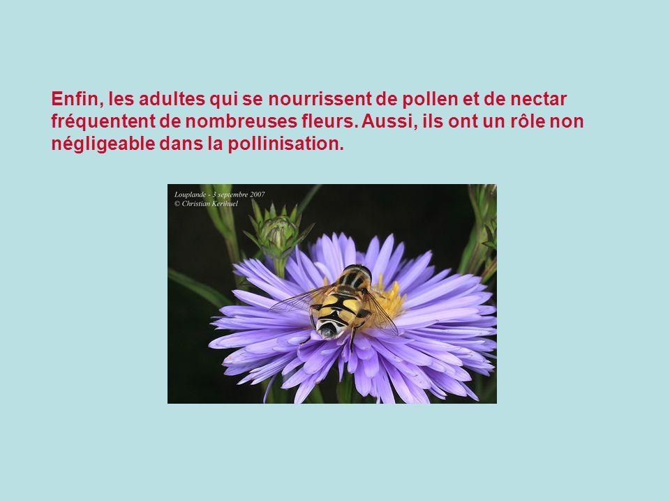 Enfin, les adultes qui se nourrissent de pollen et de nectar fréquentent de nombreuses fleurs.