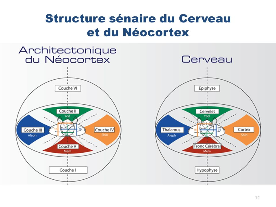 Structure sénaire du Cerveau et du Néocortex