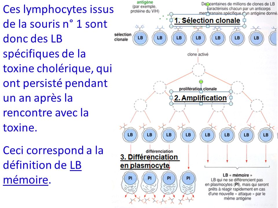 Ces lymphocytes issus de la souris n° 1 sont donc des LB spécifiques de la toxine cholérique, qui ont persisté pendant un an après la rencontre avec la toxine.