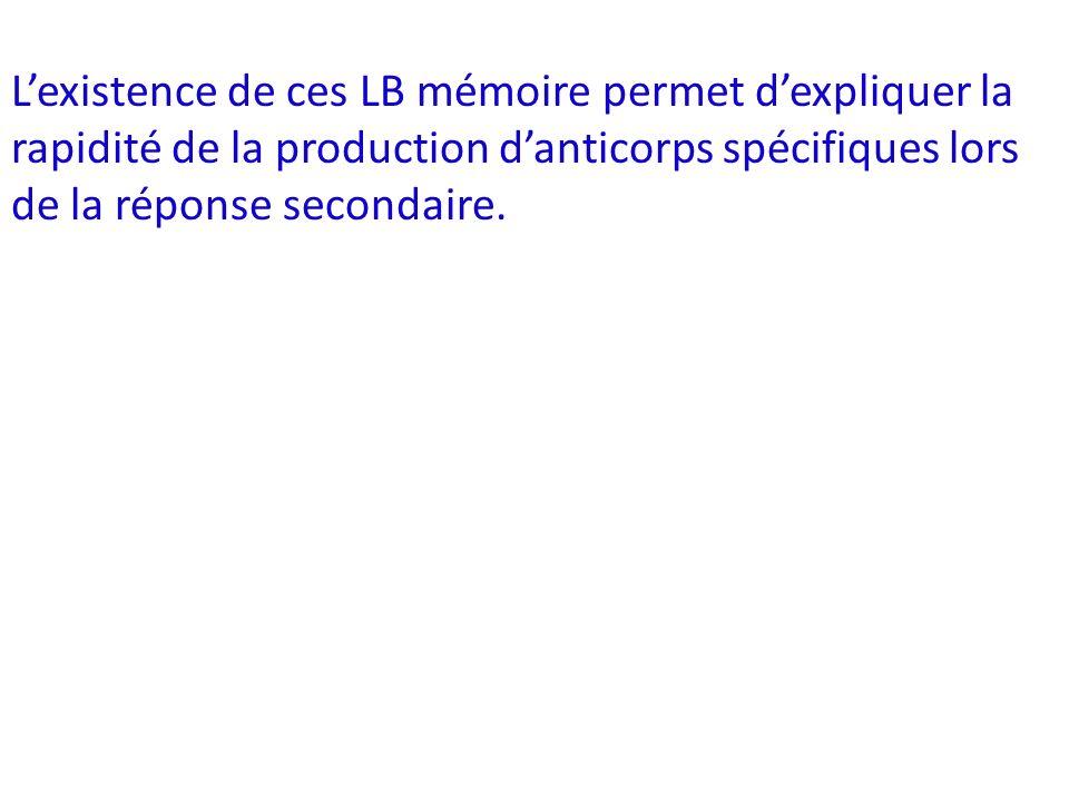 L'existence de ces LB mémoire permet d'expliquer la rapidité de la production d'anticorps spécifiques lors de la réponse secondaire.