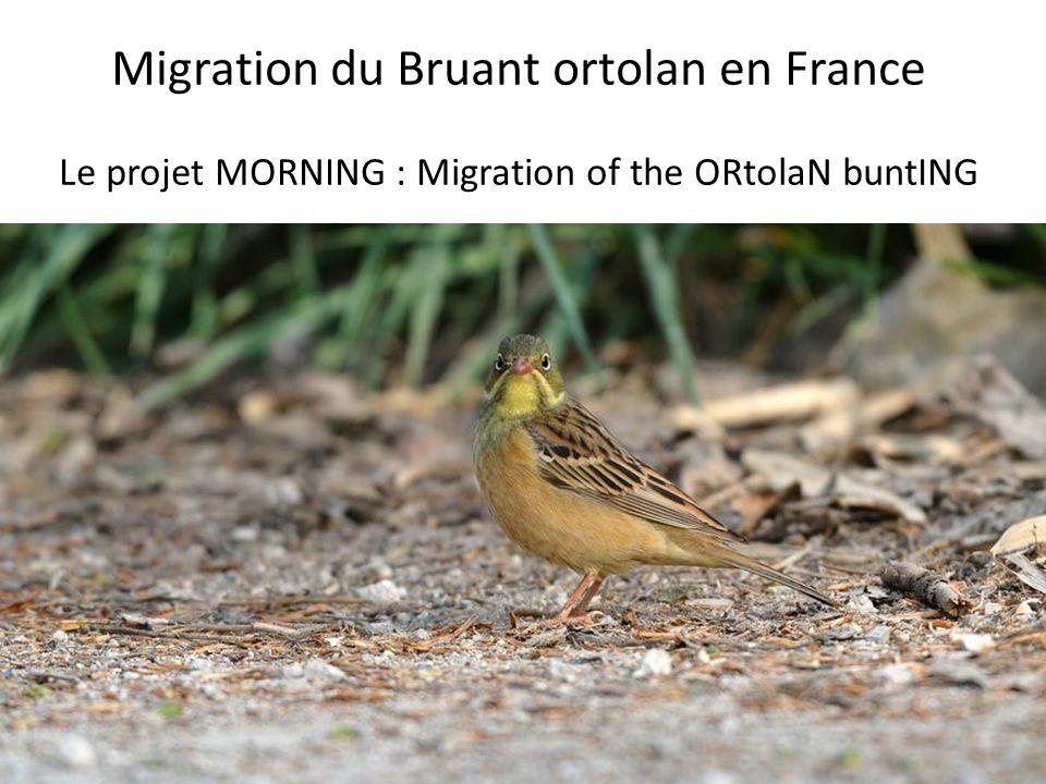 Migration du Bruant ortolan en France