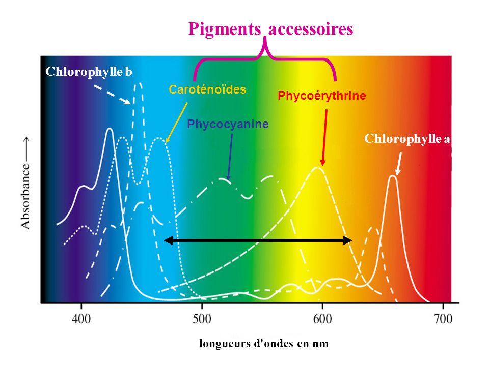 Pigments accessoires Chlorophylle b Chlorophylle a Caroténoïdes