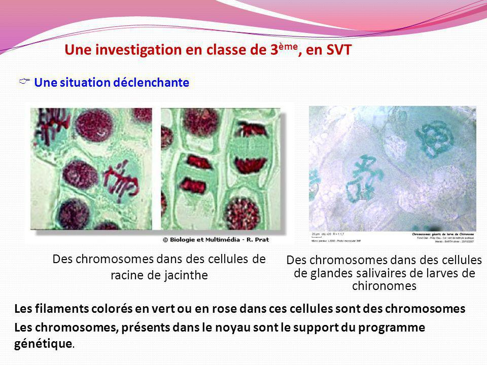 Des chromosomes dans des cellules de racine de jacinthe