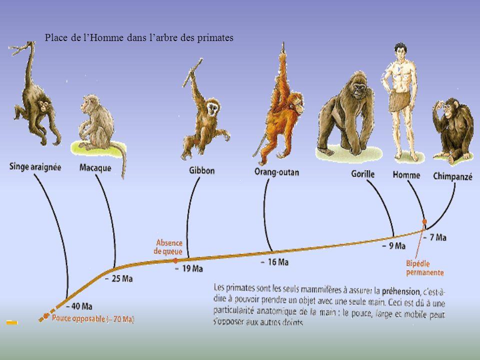 Place de l'Homme dans l'arbre des primates