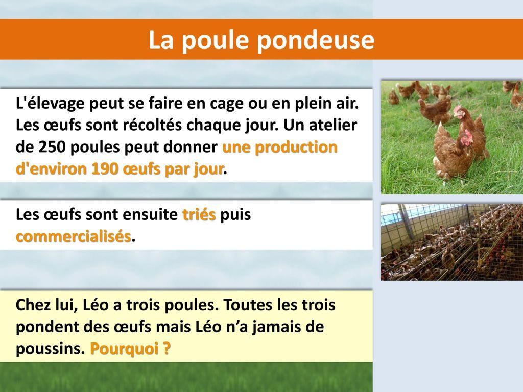 Le m tier d 39 agriculteur les productions animales ppt - Poule pondeuse a donner ...