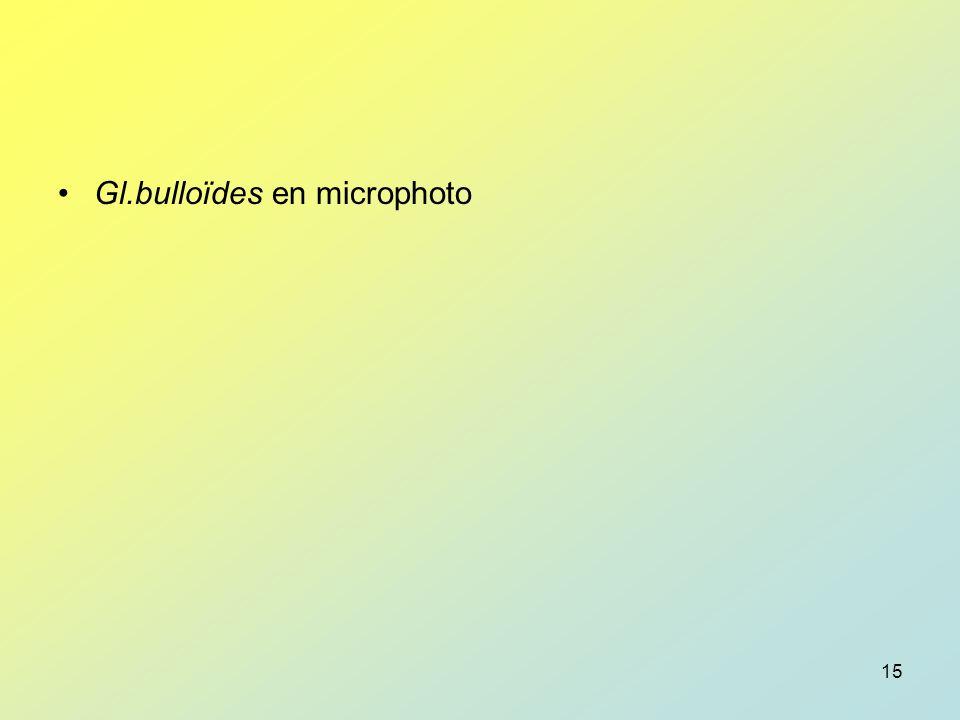 Gl.bulloïdes en microphoto