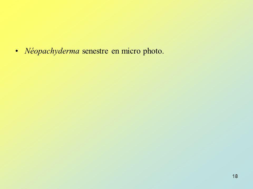 Néopachyderma senestre en micro photo.