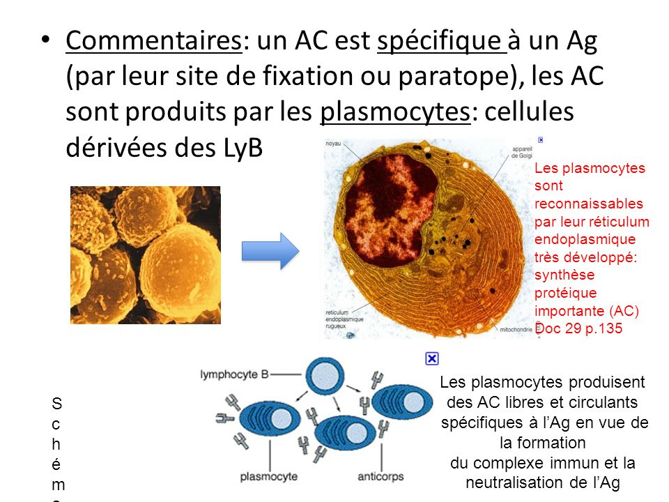 Commentaires: un AC est spécifique à un Ag (par leur site de fixation ou paratope), les AC sont produits par les plasmocytes: cellules dérivées des LyB