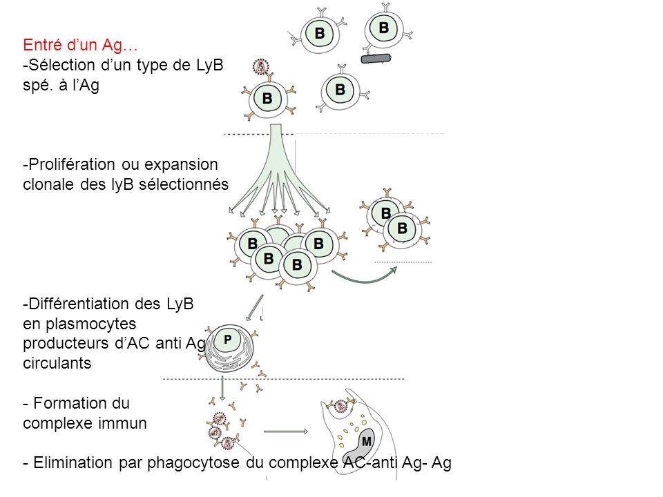Entré d'un Ag… Sélection d'un type de LyB. spé. à l'Ag. Prolifération ou expansion. clonale des lyB sélectionnés.