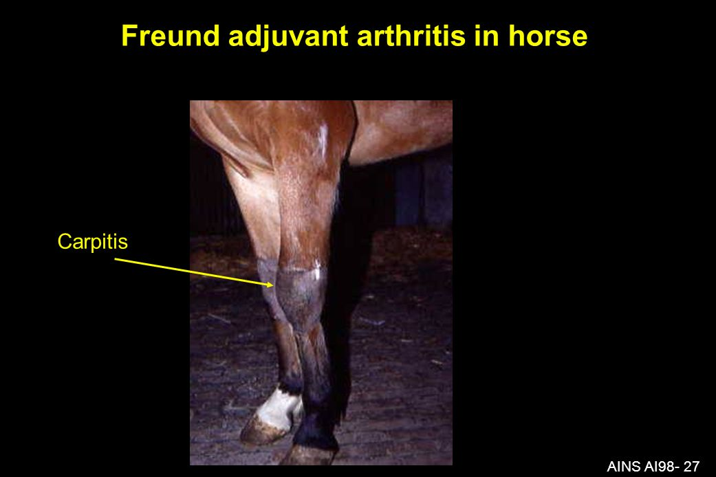 Freund adjuvant arthritis in horse