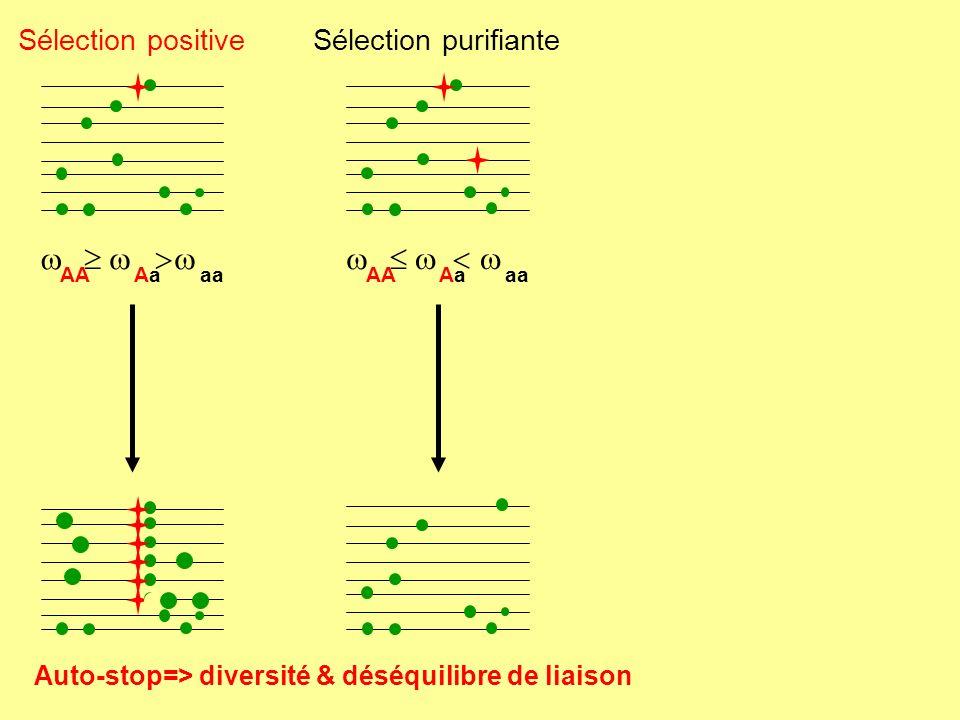  w > w  w < w Sélection positive Sélection purifiante