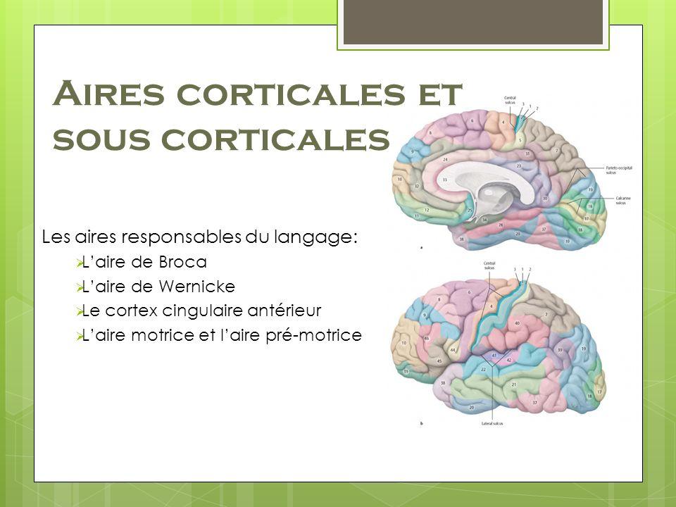 Aires corticales et sous corticales