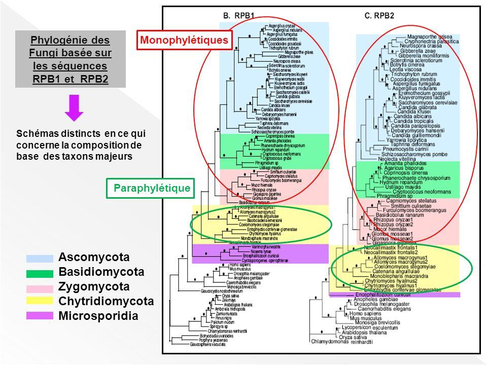 Phylogénie des Fungi basée sur les séquences RPB1 et RPB2